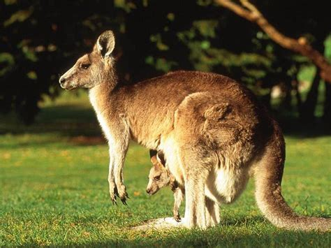 kangaroo and australian joey s images kangaroo with joey hd wallpaper and background photos 29128003