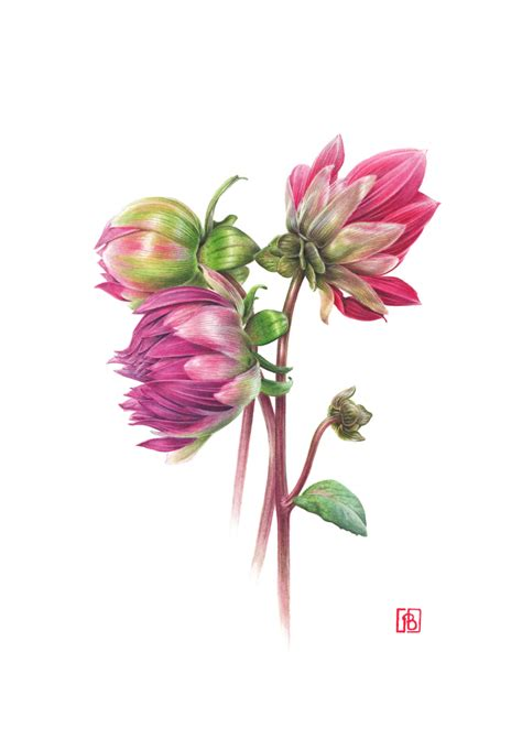 Dahlia By Yonna Collection dahlia pascal brault 2015 botanical paintings