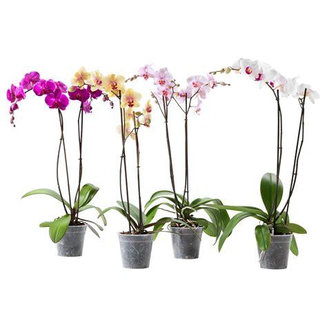 orchidee come farle fiorire mobili lavelli come curare le orchidee in appartamento