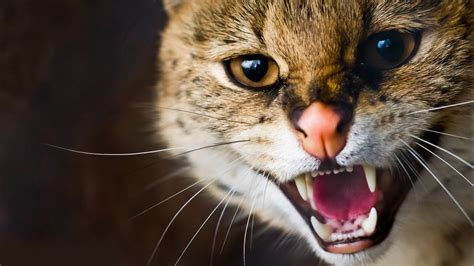 Wallpaper Angry Cat | angry cat wallpaper 9988