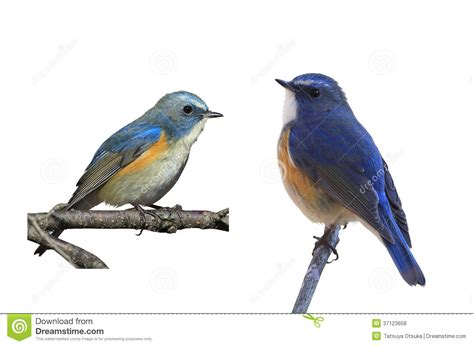 Blue Bird L by Blue Bird In A White Background Royalty Free Stock Photos