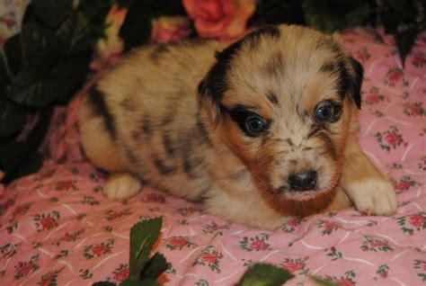 shamrock rose aussies scroll    puppies born  featured  puppy