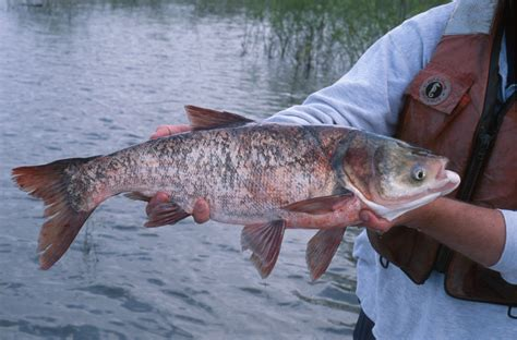 army corps considers new way to keep asian carp out of the great lakes