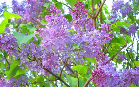 lilac tree lilac tree wallpaper wallpapersafari