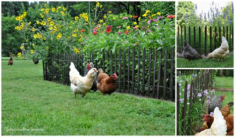 having chickens in your backyard can you have chickens in your backyard having chickens in