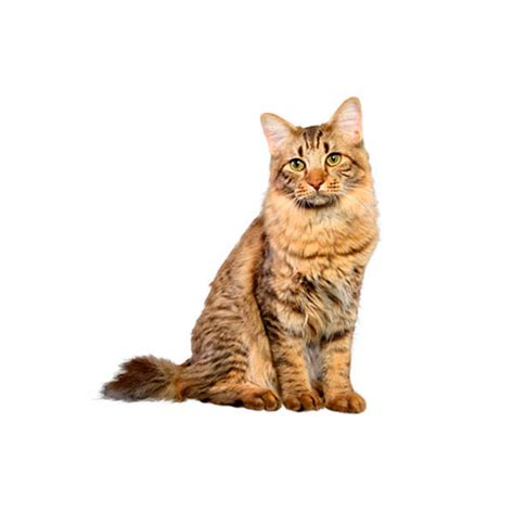 Cats With Minimal Shedding by Cat Breed Collection Purina