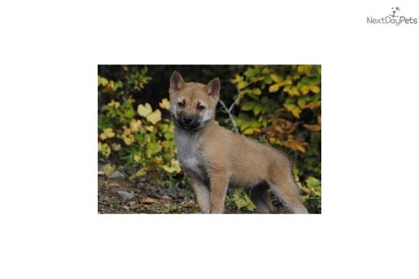 shiba inu puppies for sale in nc shiba inu puppy for sale near winston salem carolina f50e0b03 90a1