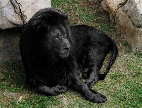 imagenes leon negro las fotos mas alucinantes leon negro