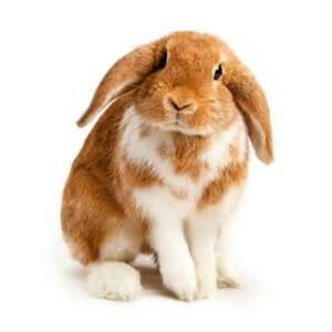 neutering your rabbit the park vet