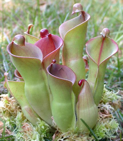 opinions on pitcher plant