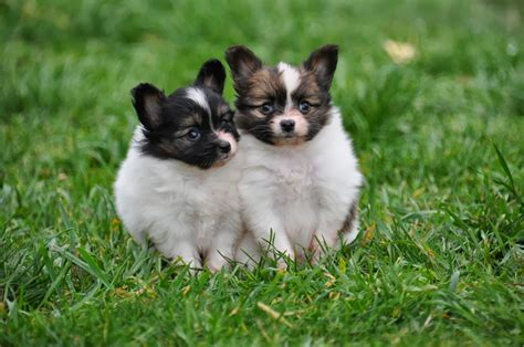 breed information papillon breed information breeds picture