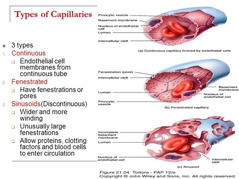 Blood Typr 3 chapter 21 the cardiovascular system blood vessels and