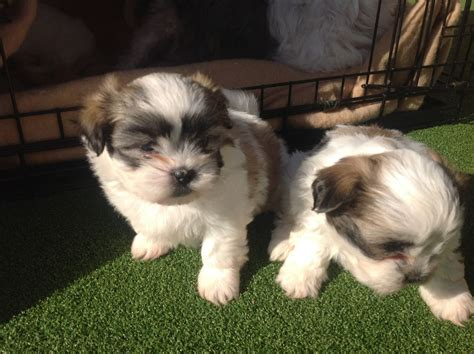 shih tzu puppies arizona shih tzu puppies picture az
