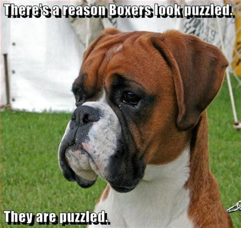 funny boxer dog puppies memes