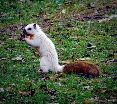 Piebald squirrels are a real thing