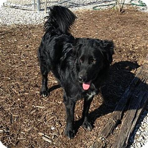flat coated retriever mix puppies for sale adopt a flat coated retriever find dogs for adoption breeds picture