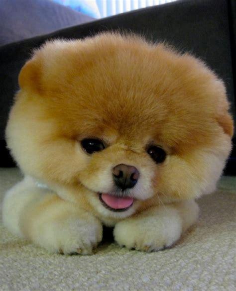 fuzzy puppies pomeranian fuzzy today