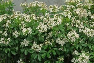 Indoor Plants And Flowers - choisya ternata