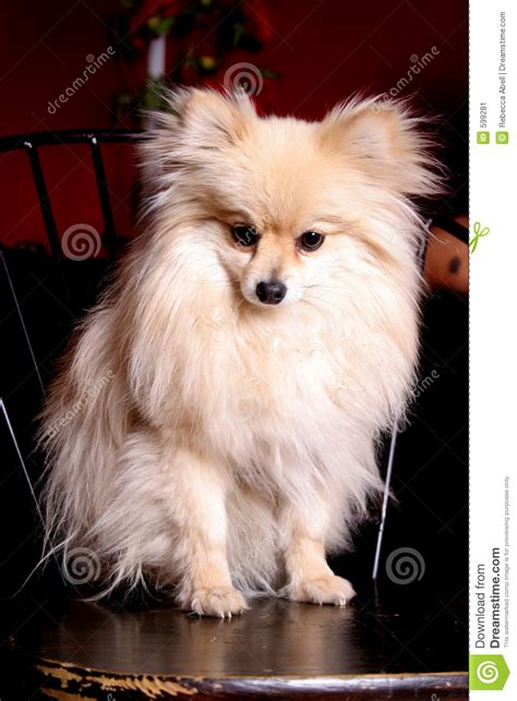 miniature pomeranian pictures miniature pomeranian stock image image of bred ears 599281