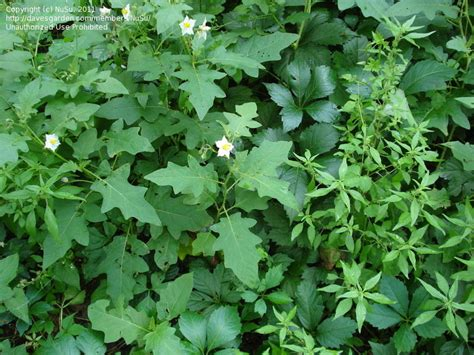 plant identification closed please id this plant nightshade family 1 by nusu