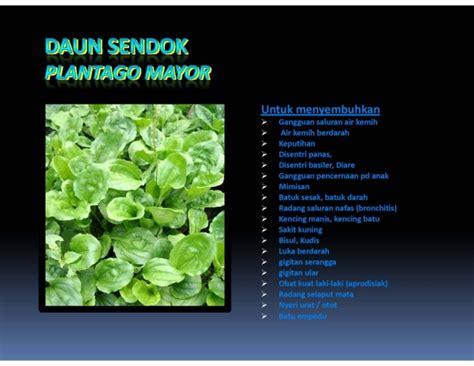Tanaman Herbal Daun Sendok khasiat tanaman ki urat atau daun sendok sehatherba