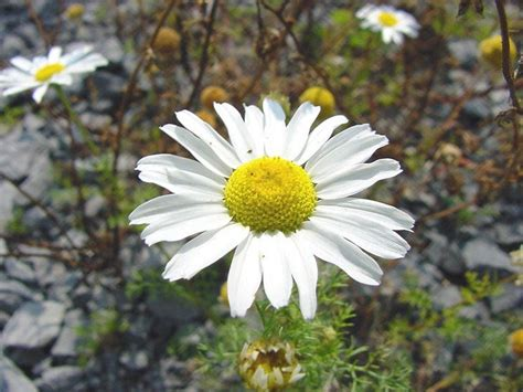 camomilla in fiore camomilla aromatiche coltivare camomilla