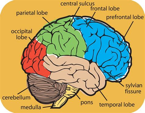 brain diagram lobes s psychology phineas gage