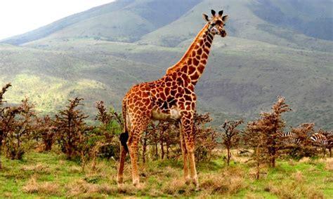 imagenes de jirafas salvajes jirafa masai caracter 237 sticas qu 233 come d 243 nde vive