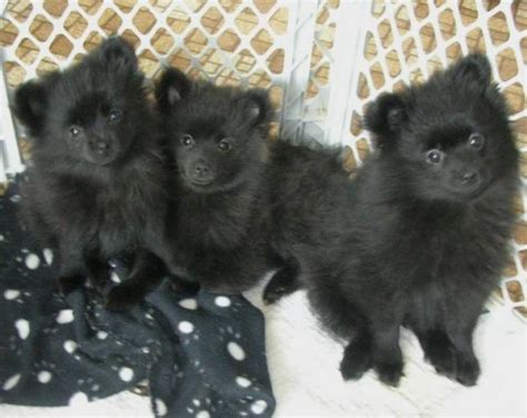 black pomeranian puppies puppy dogs black pomeranian puppies