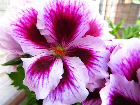 fiore geranio geranio imperiale gerani gerani imperiali