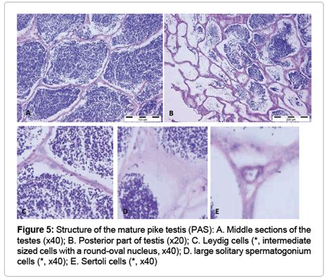 testis section analysis of testis morphology and sperm parameters of esox
