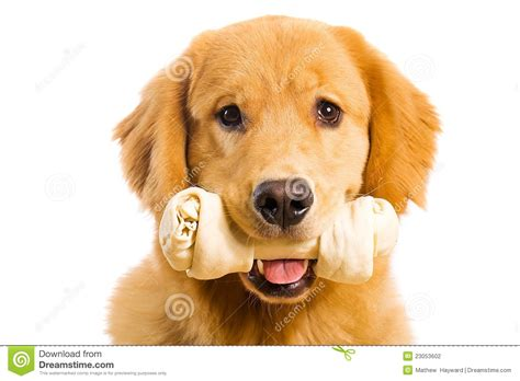 golden retriever chewing golden retriever with a rawhide chew bone stock photo image of canine bone