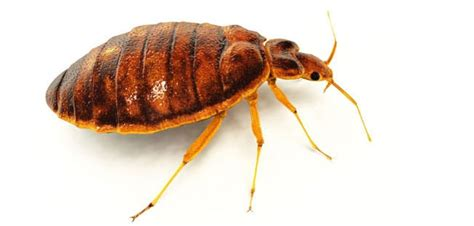 bed bug services why bed bugs control services are beneficial for people
