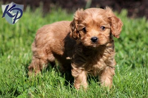 cavapoo puppies for sale in pa best 25 cavapoo puppies for sale ideas on