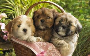 Cute puppies 2 wallpapers hd wallpapers