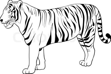 Tiger Outline Images by Tiger Drawing Isolated On The White Stock Vector Colourbox