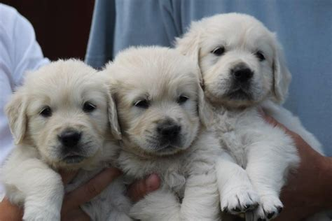 pale golden retriever beautiful chunky pale golden retriever puppies newport isle of wight pets4homes