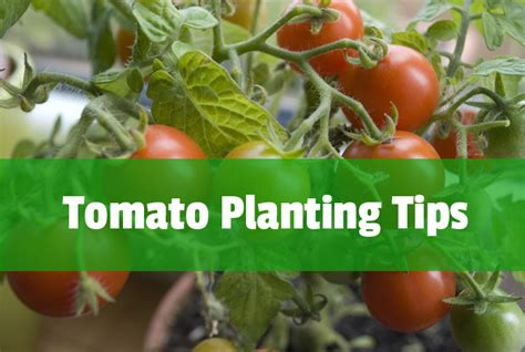 growing tomatoes espoma
