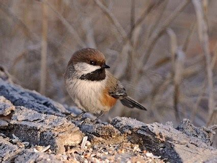 boreal chickadee identification all about birds