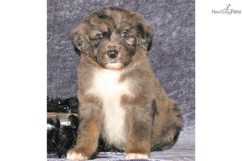 shepherd doodle puppies for sale aussiedoodle puppy for sale near east tx
