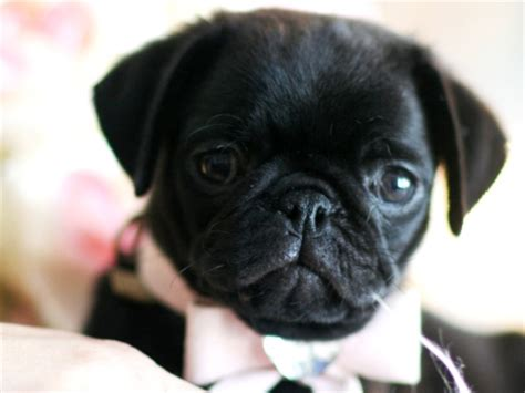 black teacup pug tiny teacup pug boy puppy quotes