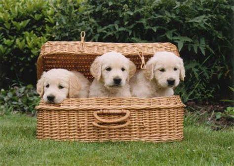 summeramba golden retrievers golden retrievers golden retriever soft coated wheaten terrier kennel from