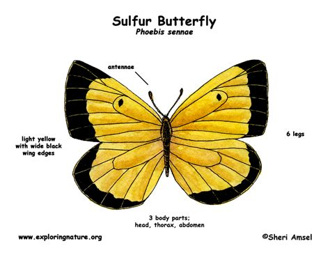 diagram of a butterfly butterfly sulfur exploring nature educational resource