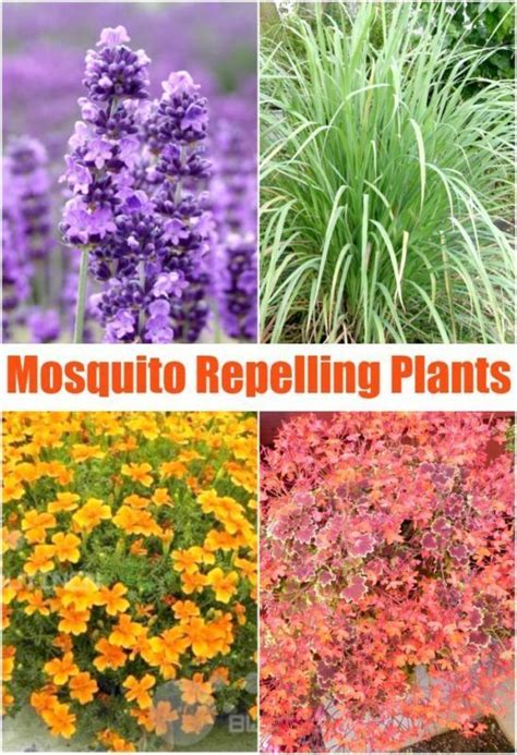repellent plants 25 best ideas about mosquito repelling plants on insect repellent plants