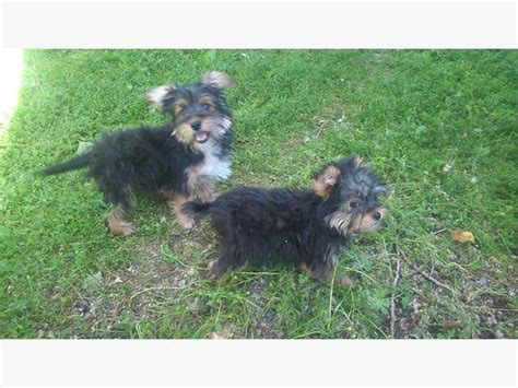 havanese yorkie puppies yorkie havanese puppies outside calgary area calgary