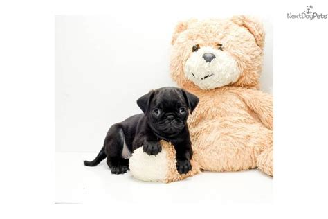 pugs for sale in columbus oh pug puppy for sale near columbus ohio b04140a9 b171
