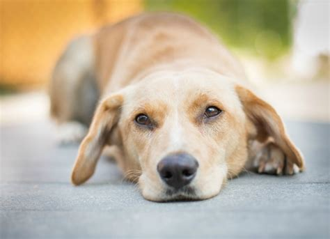 bacterial ear infection in dogs bacterial infection streptococcus in dogs petmd