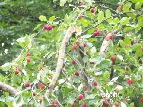 pruning crabapple tree ask an expert