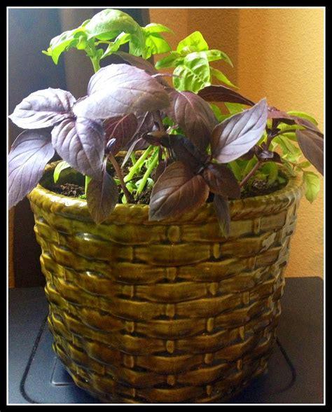rid  gnats  indoor herbhouseplants