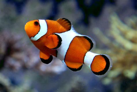 Ikan Nemo nemo ocellaris clownfish tarlton s underwater wo flickr